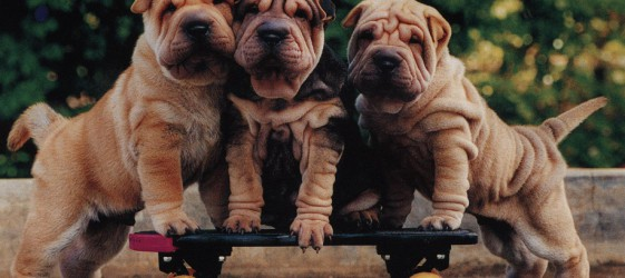 shar+pei+puppies+three[1]