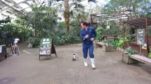 Słodki pingwin, który biega za pracownikiem zoo.