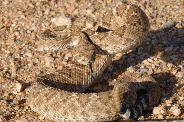 32 Najbardziej Jadowite Węże Na Ziemi