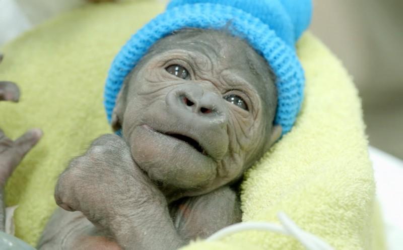 Mały gorylek, który przyszedł na świat przy pomocy cesarskiego cięcia.