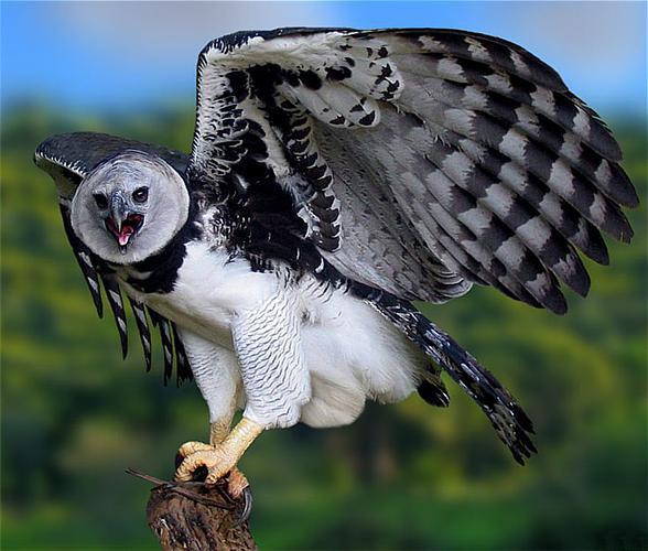 12 dziwnych zwierz t o kt rych istnieniu nawet nie - Harpy eagle hd wallpaper ...