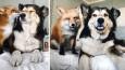 Udomowiona lisica została najlepszą przyjaciółką psa swoich właścicieli.