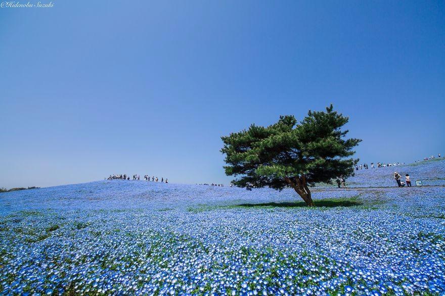 45 Miliona Kwiatów Porcelanki Błękitnej Na Malowniczych