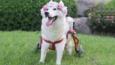 Husky urodzony bez łap został zaadoptowany i stał się najszczęśliwszym psem na świecie!