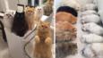 """""""12 Cats Lady"""" podbija Instagrama razem ze swoimi cudownymi 12 Persami!"""