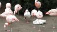 13 kaczek, które myślą, że są flamingami!