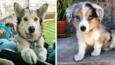 15 najpiękniejszych psich mieszańców.