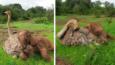 Niezwykła przyjaźń osieroconego słonia ze... strusiem!